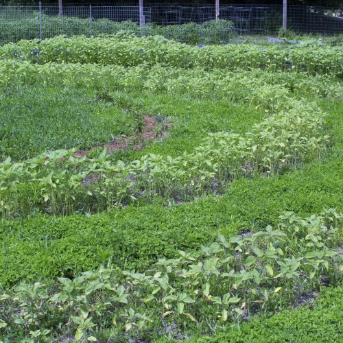 The University of Maine at Augusta Community Garden Labyrinth grew in well during the Summer of 2018. By fall, a wall of sunflowers reached as much as 11 feet high.